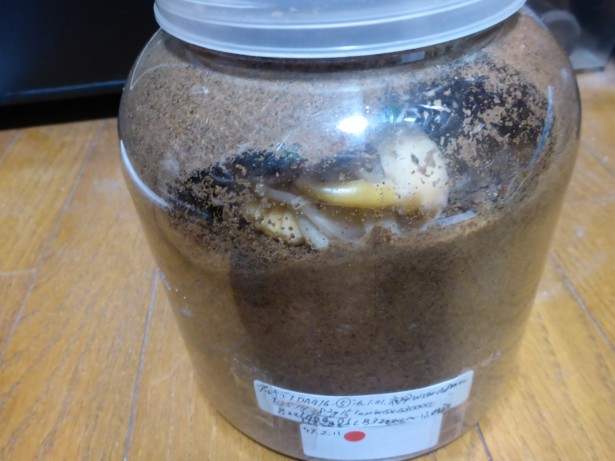 蛹室作ったアルキ